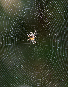 Gabriella, a garden spider, on her beautifully crafted web. Water drops added via a spray bottle.