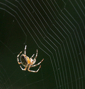 One of my first pictures of Gabriella, taken while she was building her web one morning outside our front door.