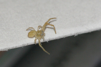 9335 Teeny Spider