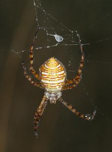 0867 Orb Spider