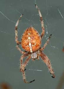 4141 Garden Spider