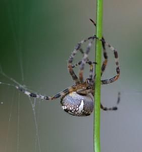 5106 Spider & Vine