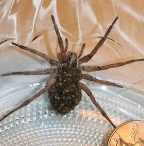 Wolf spider with babies on her back and a quarter for size comparison.