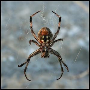 4450 Spider