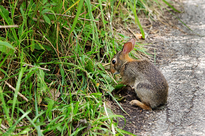 Bunny at the Spring Valley Nature Sanctuary, Schaumburg, Illinois