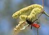 Trantula Wasp