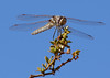 Darnier Dragon Fly