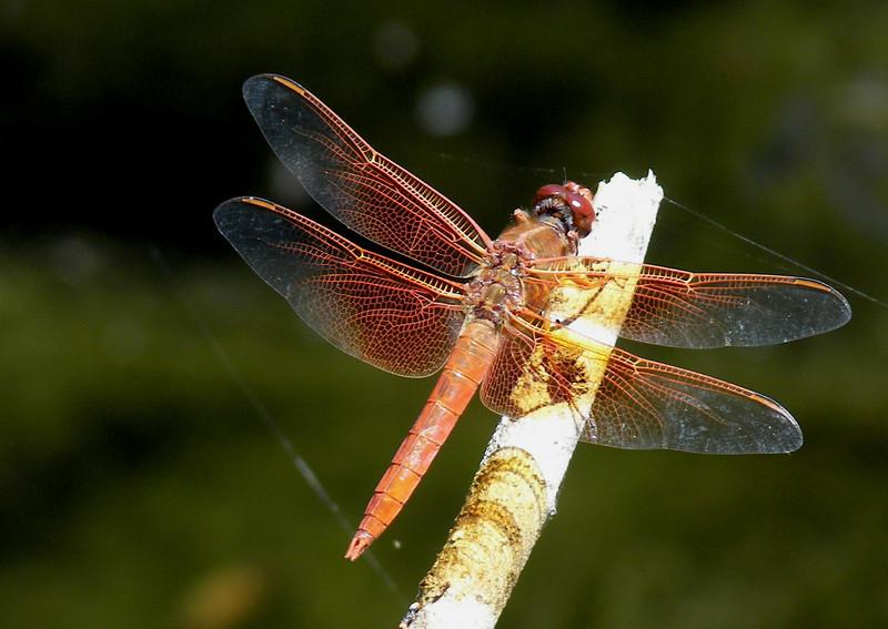 Red Skimmer Dragon Fly