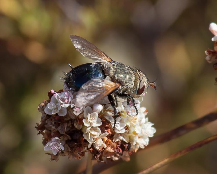 Bombyliidae