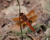 Red Skimmer Dragonfly