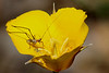 Leaf hopper on a poppy