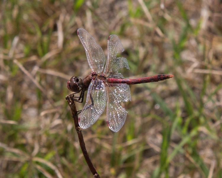 Meadow Hawk Dragonfly