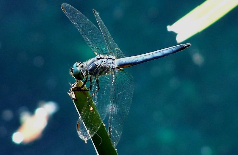 Pond Hawk Drogon Fly