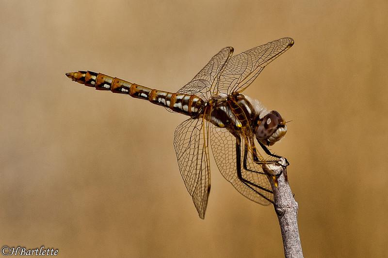 Blue Darner Drogonfly