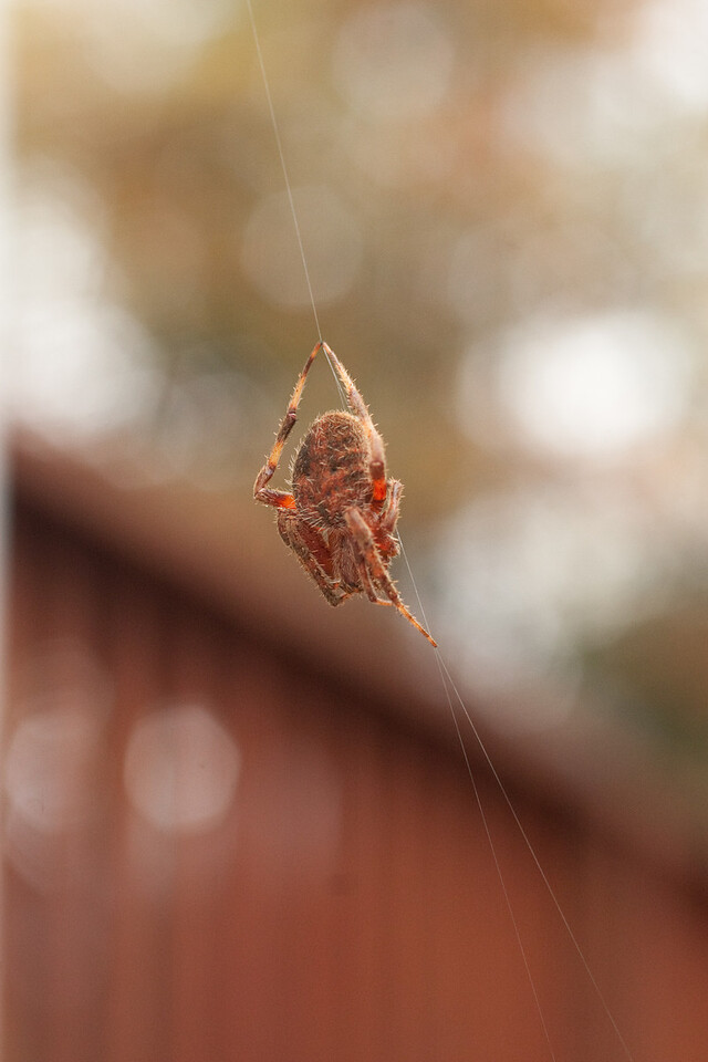 Orange Spider Macro (1 of 2)