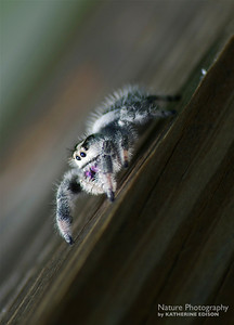 Regal Jumping Spider (F)