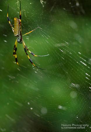 Golden Silk Orbweaver Spider