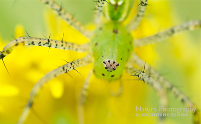 Green Lynx Spider Eyes