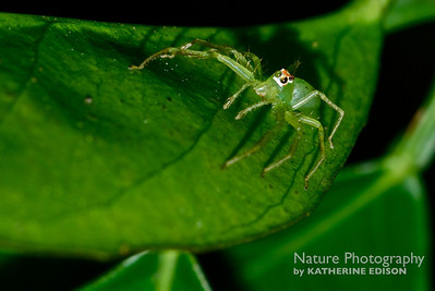 Magnolia Green Jumping Spider