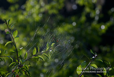Golden Orbweaver Spider Web