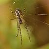 Meta (Metellina) segmentata | Herfstspin - Lesser garden spider