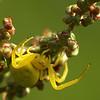 Misumena vatia | Kameleonspin - Goldenrodspider