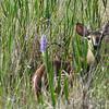 White-Tailed Deer (wading in Lake Hart)