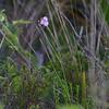 Unknown spiderwort species
