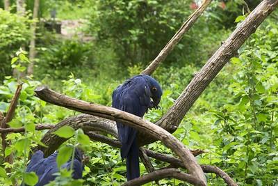 Hyacinth Macaws, Nashville Zoo