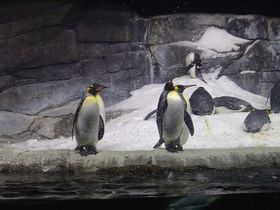 Penguins, Newport Aquarium