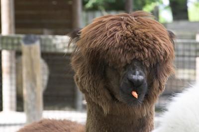 Alpaca, Nashville Zoo