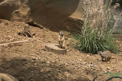 Meerkats, Nashville Zoo