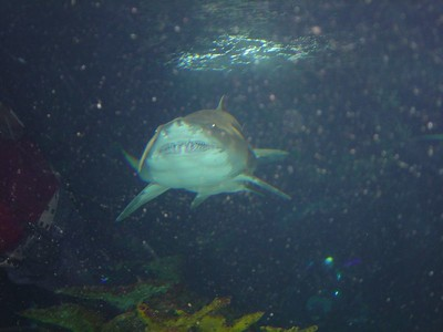 Shark, Newport Aquarium