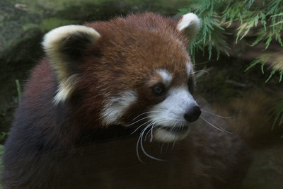 Red Panda, Nashville Zoo