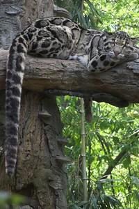 Leopard, Nashville Zoo