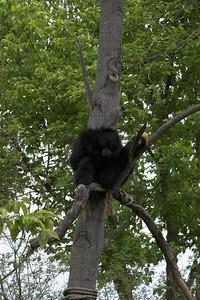 Orang-utang, Nashville Zoo