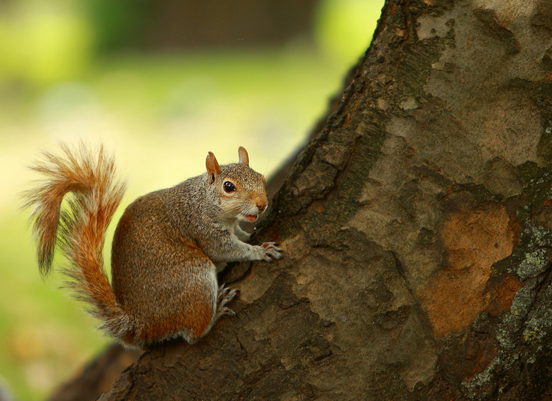 Squirrel in Hyde Park London