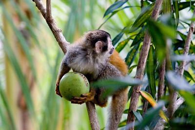 Squirrel Monkey and Giant Avocado
