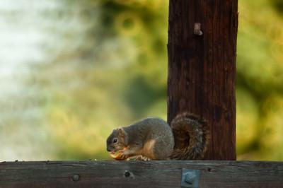 Squirrel eating an orange