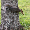 A squirrel heads up a tree with multiple acorns on the drive to Tewksbury State Hospital. (SUN/Julia Malakie)