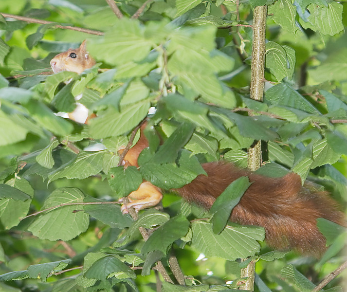 This squirrel is hiding in the bushes.