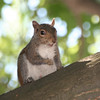 Squirrels : A squirrel is a small or medium-sized rodent of the family Sciuridae. In the English-speaking world, it commonly refers to members of this family's genera Sciurus and Tamiasciurus, which are tree squirrels that have large bushy tails, and are indigenous to Europe, Asia and the Americas. Similar genera are found in Africa.