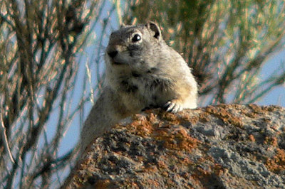 Uinta Ground Squirrel (Spermophilus armatus)