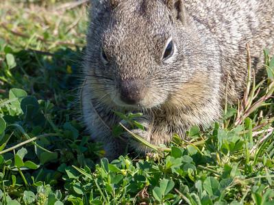 Ground Squirrel March 2018