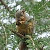 A Fox Squirrel having breakfast