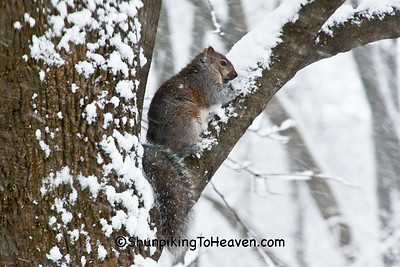 Squirrel in Snow, Dane County, Wisconsin