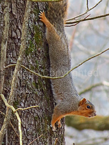 Red Fox squirrel - 1/26/12