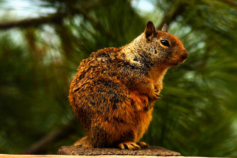 Female California Ground Squirrel