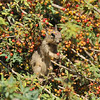 A baby Ground Squirrel eating a berry from a Nevin's Barberry bush