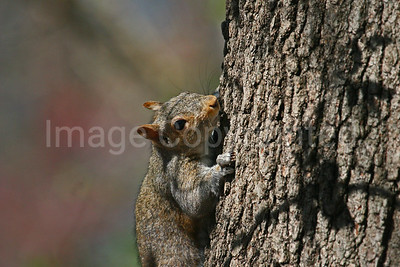 Squirrel on tree - 4/1/09